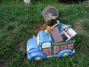 moving truck and groundhog